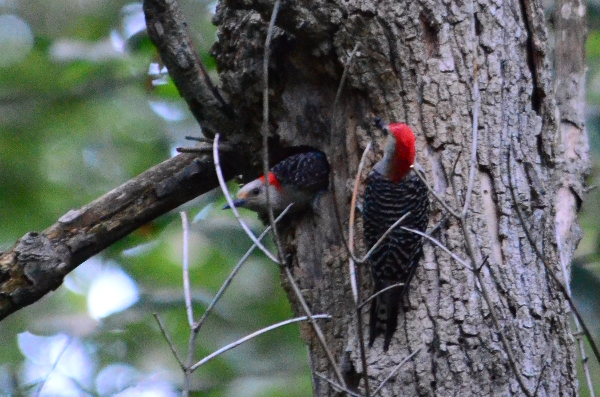 Adult and Juvenile Woodpecker