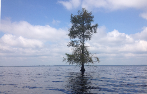 Lone Bald Cyprus on Lake Drumond, Dismal Swamp, Va.