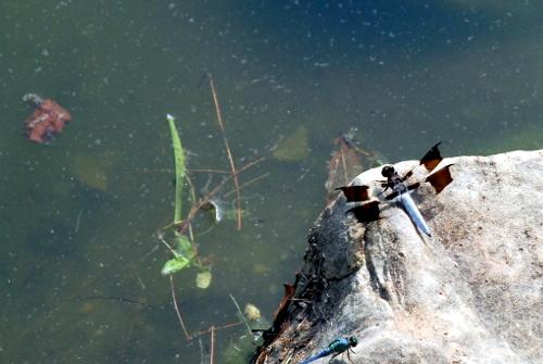 5-dragonfly_9323